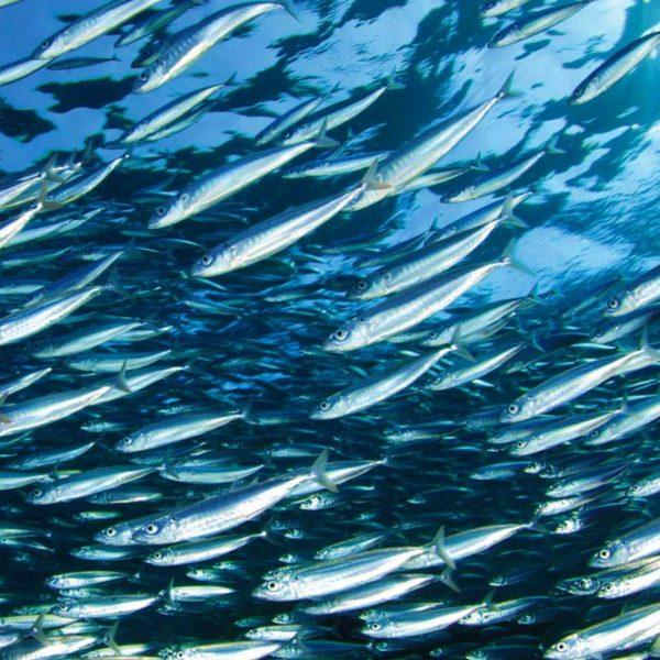 pesce azzurro sardine alici