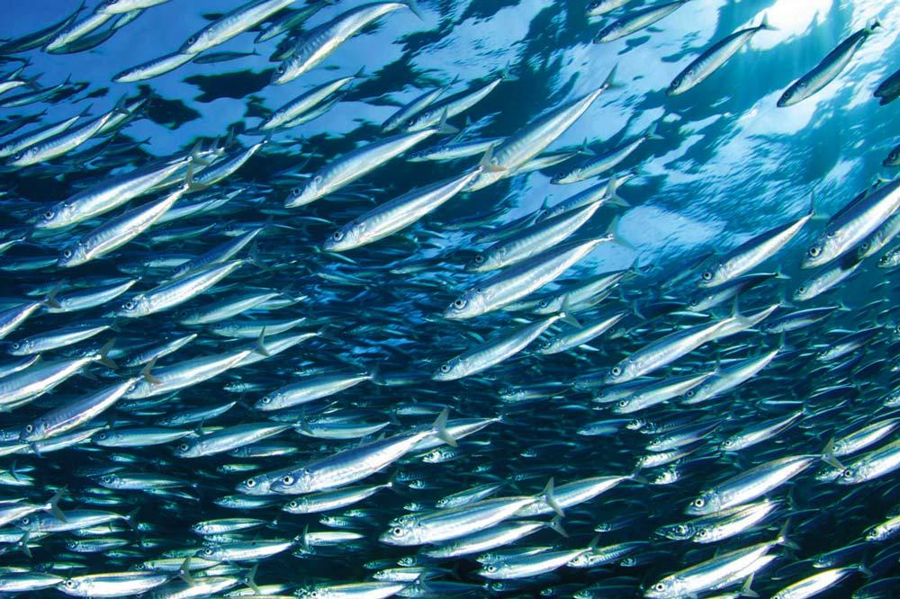Pesce Azzurro Sardine E Alici Cè Differenza Lo Stabulario