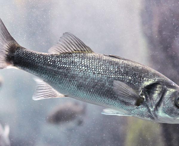 spigola o branzino pesce dell'adriatico