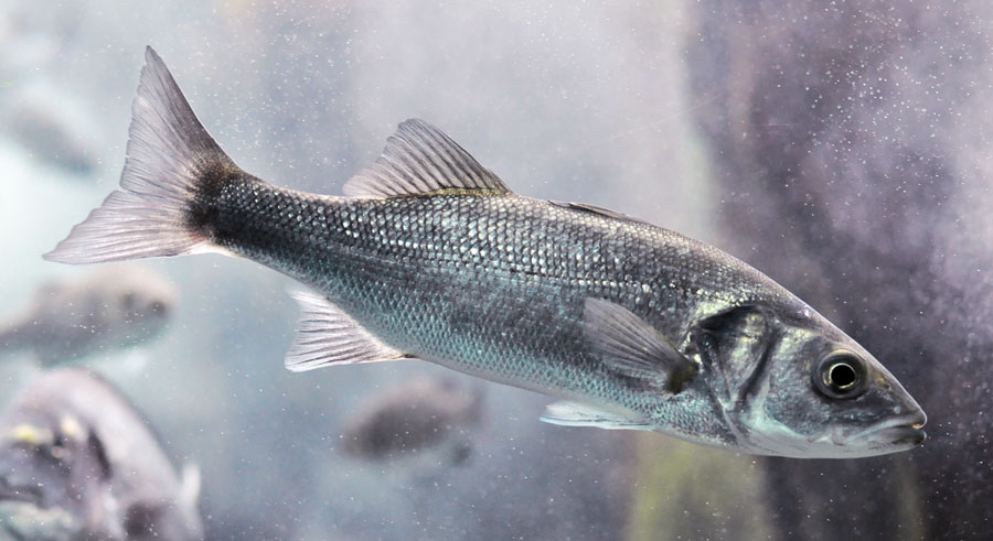 Pesce dell'Adriatico: la spigola